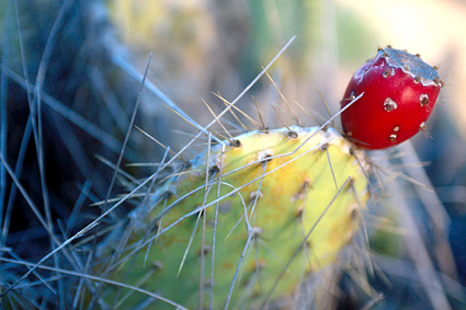 Coastal Prickly Pear Cactus, Opuntia littoralis