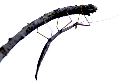 Walking Stick, order Phasmatodea